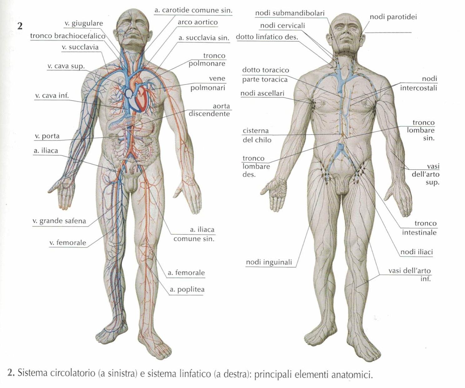 sistema circolatorio e sistema linfatico